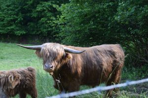 FairyForest: Kuh aus 2014 mit der Nr. 15543